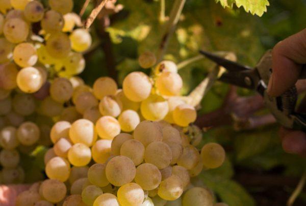 Le caratteristiche del vino Custoza