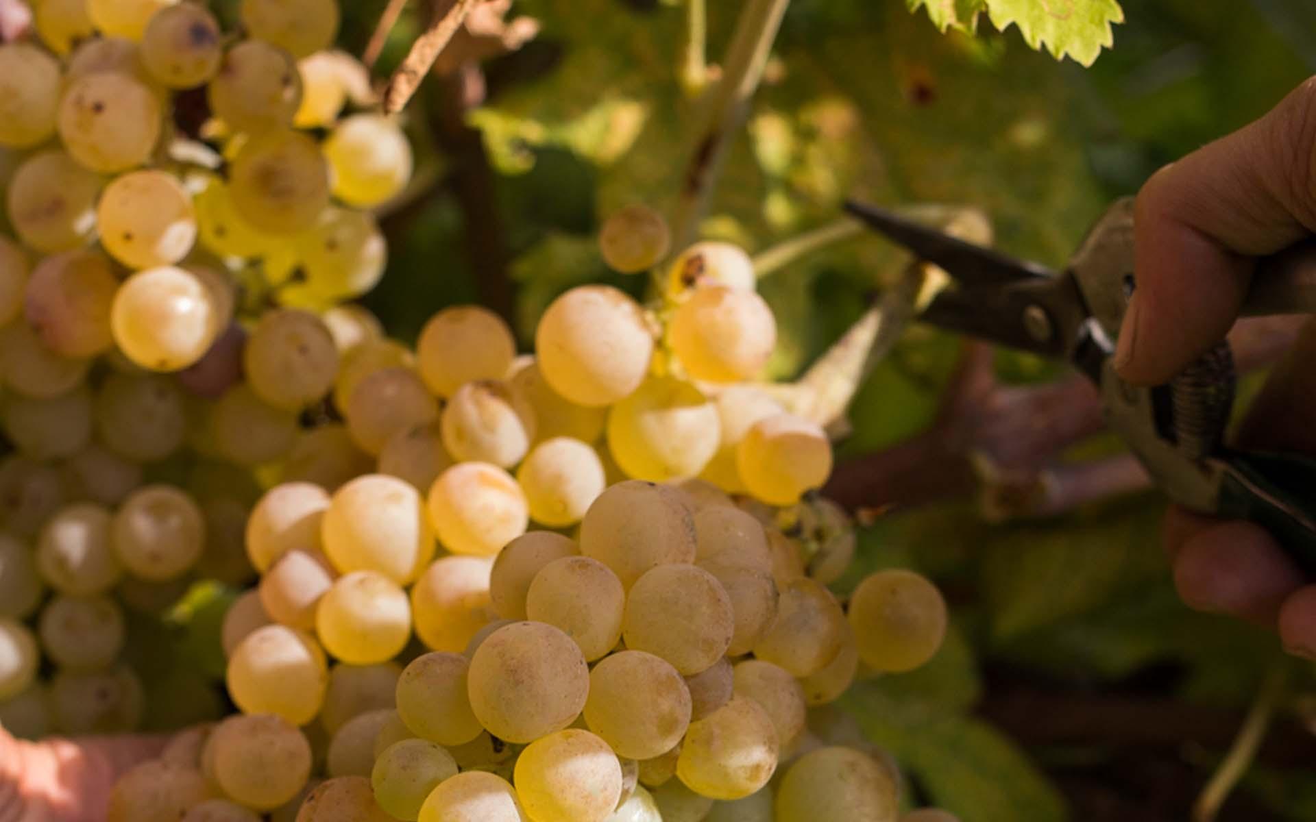 The Custoza Wine