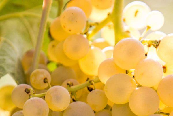 Italian white wines