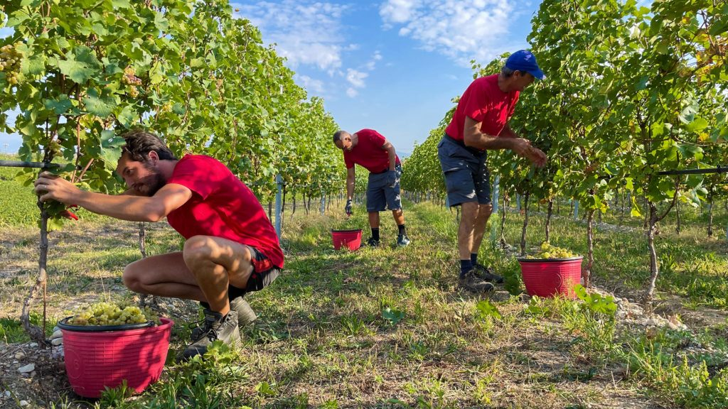 vino Custoza - vendemmia 2021 Monte del Frà